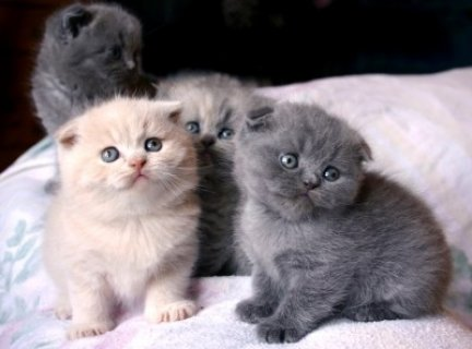صور Scottish Fold Kittens for good homes.. 1