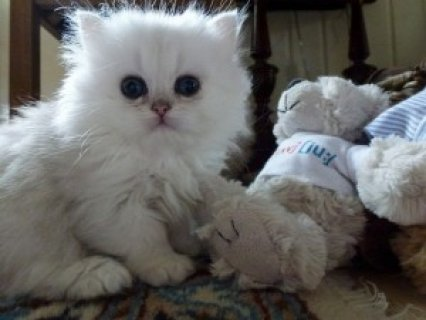 Cute Persian Kittens Available for adoption
