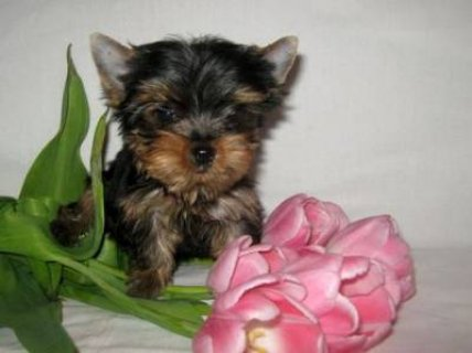 Charming Yorkie Puppies