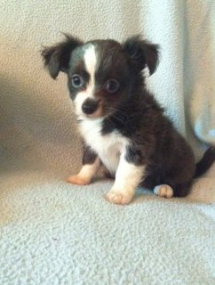 صور adorable Chihuahua puppies for sale  1