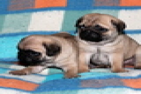 صور Cute and Adorable Pug Puppies for Sale 1