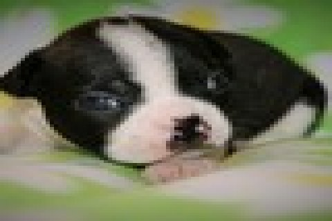 beautiful black brindle and white boston terrier puppies female beautiful black brindle and white boston terrier 8255