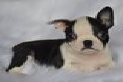 صور Boston Terrier Puppies For Sale 1