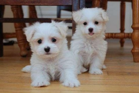 صور Male and female Maltese Puppies  1
