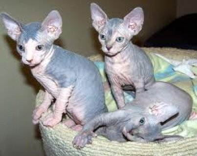 Adorable Canadian Sphynx kittens