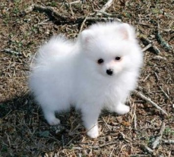صور wonderful Pomeranian Pupps 1