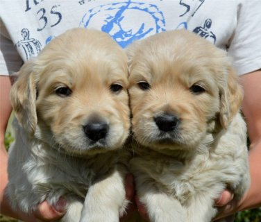 Labrador puppies and dogs