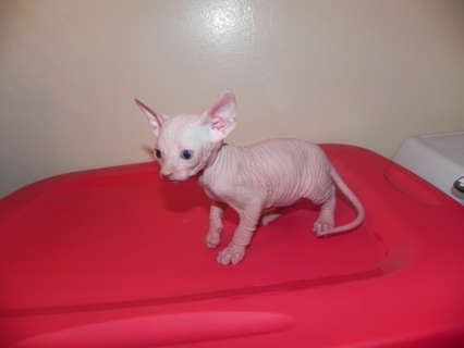 Exotic Quality Cfa Sphynx Kittens Ready To Go