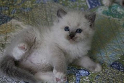 Two White Rogdoll Kittens for adoption