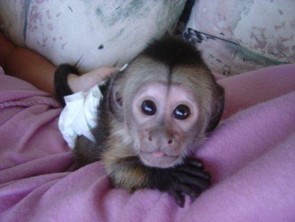 Small Capuchin Monkey