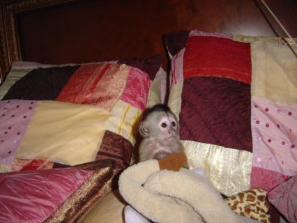 صور  Adorable Capuchin Monkey   She is 3 months old Capuchin monkey. 1