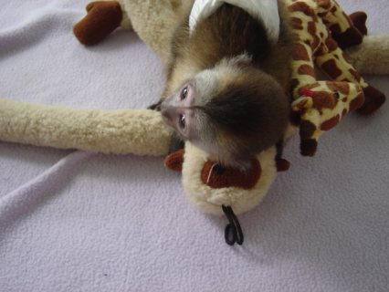 صور  Adorable Capuchin Monkey   She is 3 months old Capuchin monkey. 3