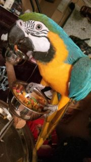 Pedigree Macaw Parrots