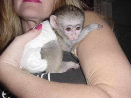 Beautiful home raised Capuchin monkeys