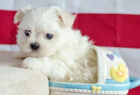 صور Family Male and Female Maltese puppies for New Homes,  1