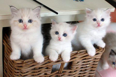 Rag doll Kittens for adoption