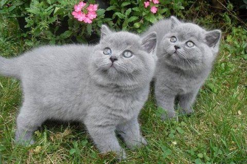 Beautiful british short hair kittens