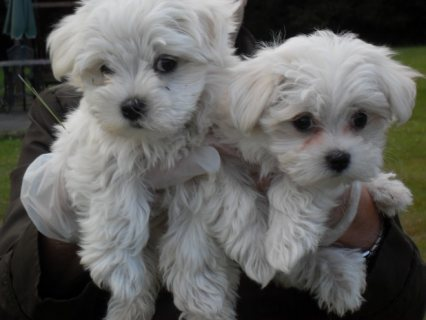 Sweet Playful Maltese Puppies For Adoption