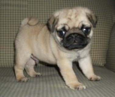 Home Raised Pug Puppies