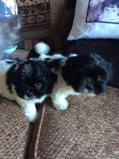 Kc Reg Particulate Colour Puppies for adoption