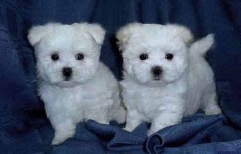 Trained Teacup Maltese Puppies For Adoption