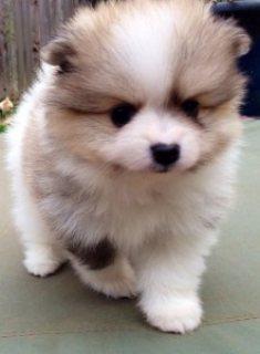 Female Pomeranian Puppy for Adoption