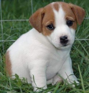Beautiful Jack Russell Puppies for Free