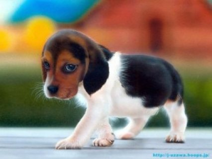 cute male and female beagle puppies for free