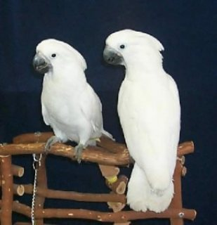 Lovely Pair of Umbrella Cockatoos for Sale