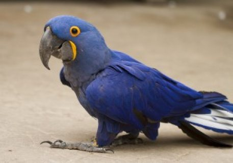 Adorable Talking Hyacinth Macaws Up Now for A New Family