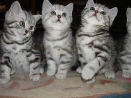 British short hair kittens