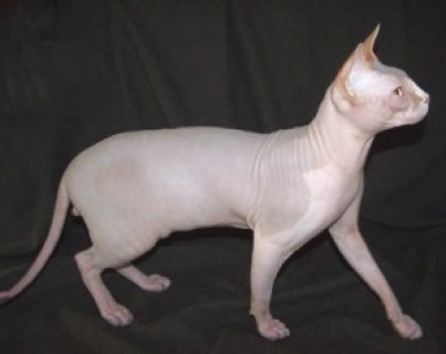 صور Two Sphynx kittens for sale 1