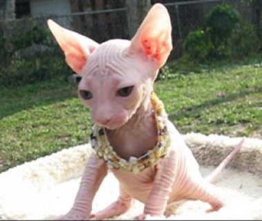 Bo-colored Female Sphynx Cats