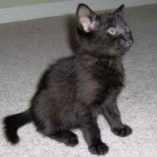 Black Kitten For Sale