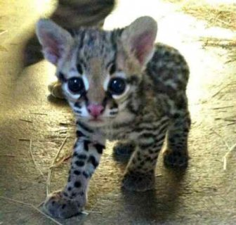 African Servals and Ocelot kittens .
