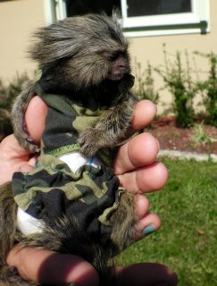 Home Raised Marmoset Monkeys For sale