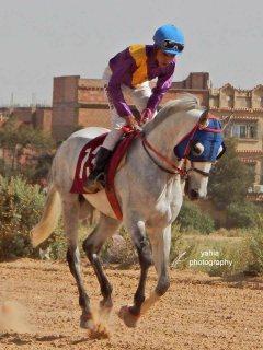 حصان عربي اصيل بالوثائق