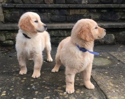 Golden retriever puppies available to joined new homes