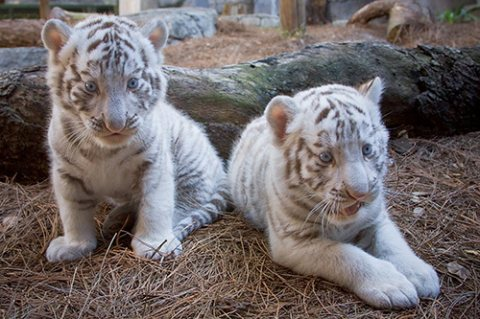 Trained Tiger Cubs Available for good homes.