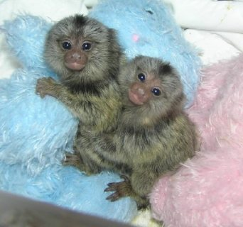 صورة 1 Marmoset Monkeys Available for sale