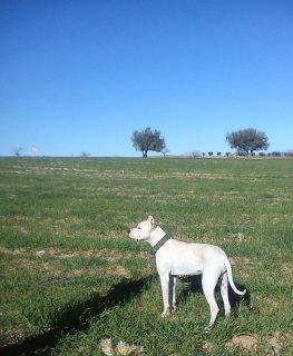 dog Argentine