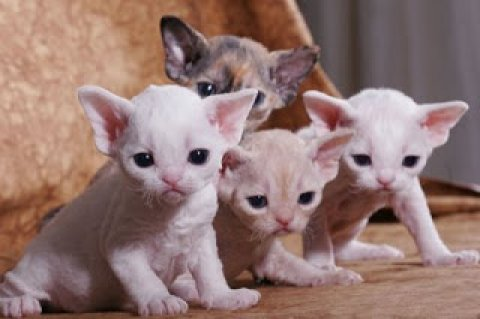A Devon Rex Breeders Devon Rex Cat Breeders