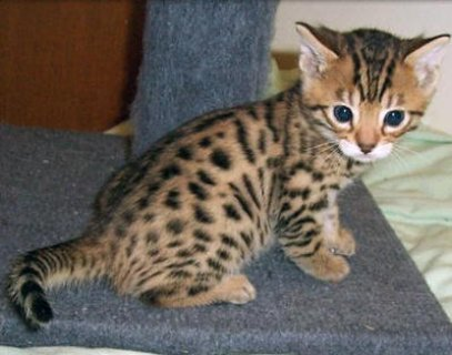 W Exotic bengal kitten