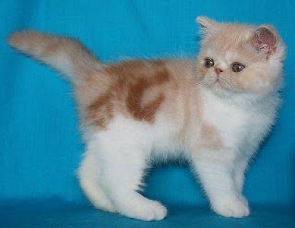 2American Shorthair Kittens