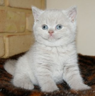 sWHITE GOOD LOOKING BRITISH KITTENS NOW AVAILABLE