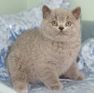 sLIGHTUP SHORTHAIR KITTENS LOOKING FOR REHOMING