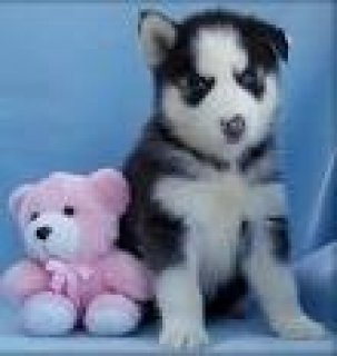 Beautiful AKC Siberian Husky Puppies Available in Algeria