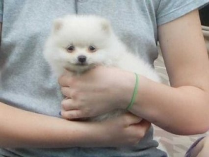Cute Pomeranian Puppies for Re-homing