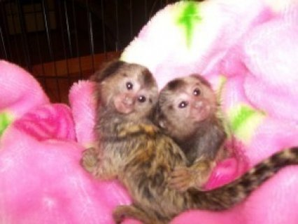 Twin Pygmy Marmosets Monkeys