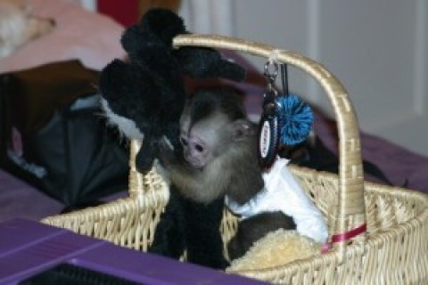 2 amazing little Capuchin monkeys babies